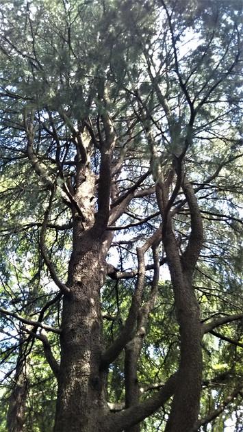 林試の森公園のレバノン杉 ナイルストーリー Nile Story